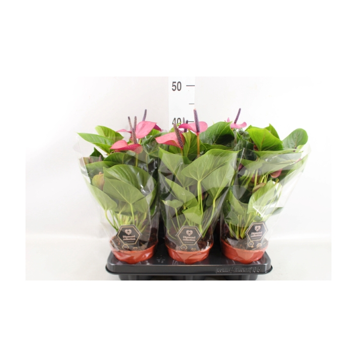 <h4>Anthurium  'Baby Purple'</h4>