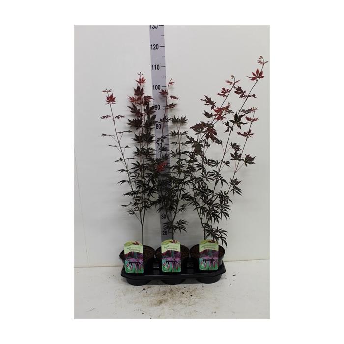 <h4>Acer palmatum 'Trompenburg'</h4>