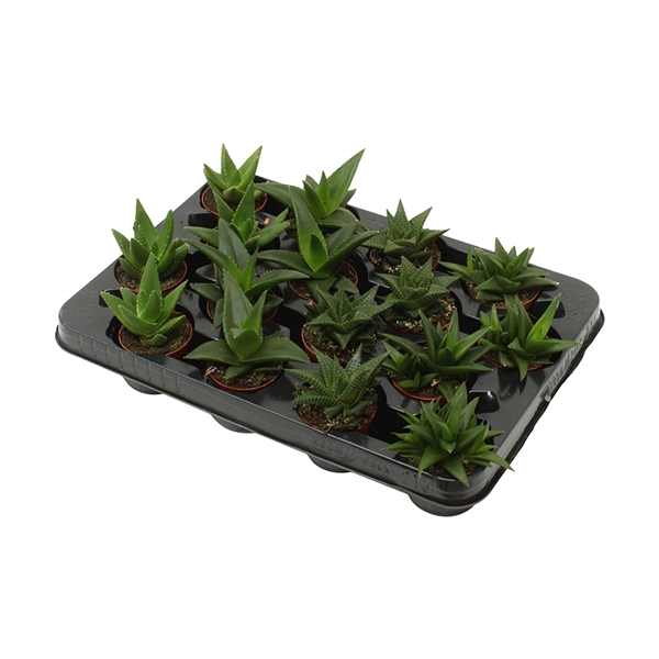 <h4>Aloe-haworthia mix</h4>