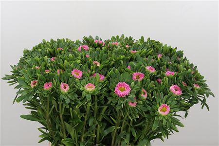 <h4>Callis Pink</h4>