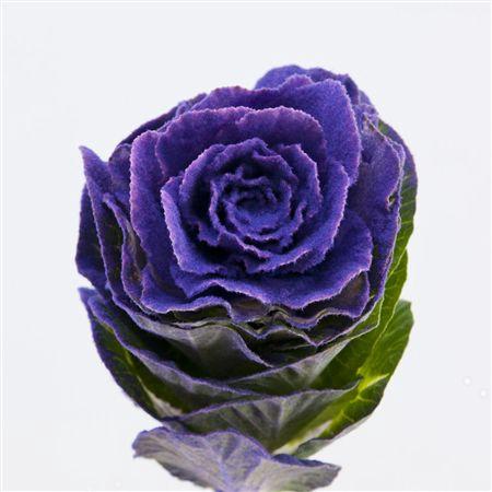 <h4>Brassica Powder Purple</h4>