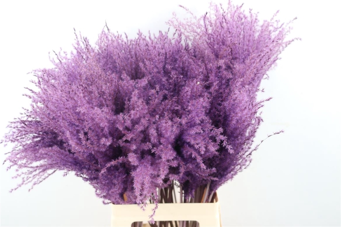 <h4>Dried Stipa Feather Paars Ptk</h4>