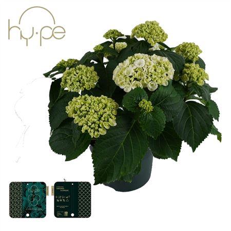 <h4>Hydrangea Curly Wurly White 7+</h4>