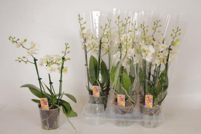 <h4>Phalaenopsis Multiflora white 12Ø 50cm 3 pędy 30+ kwiatów</h4>