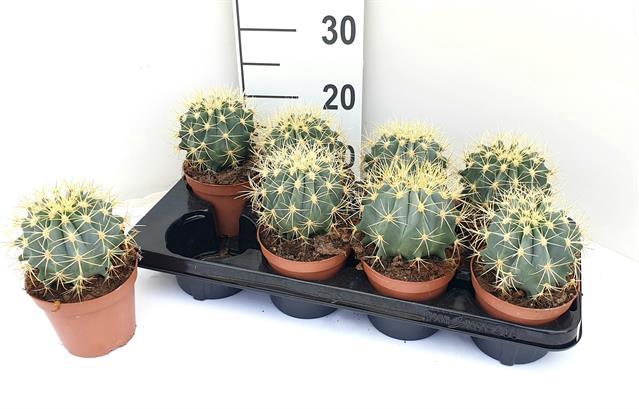 <h4>Ferocactus glaucescens 12Ø 18cm</h4>