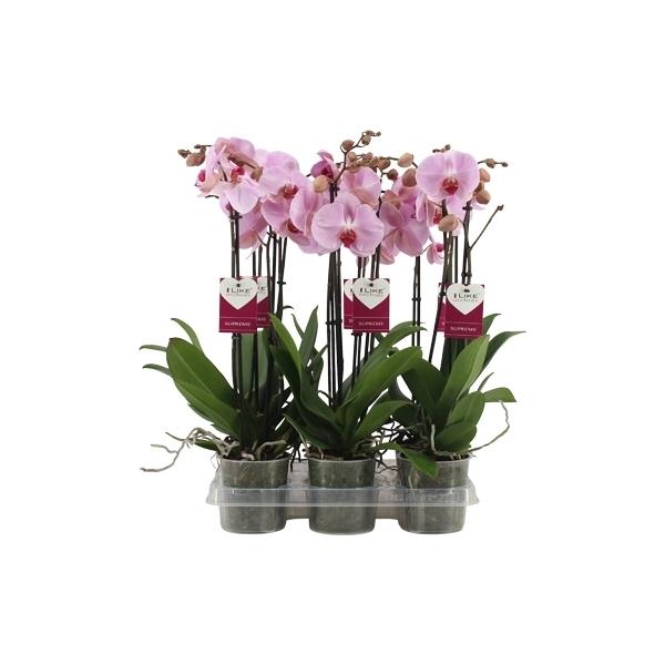 <h4>Phalaenopsis Sacramento</h4>