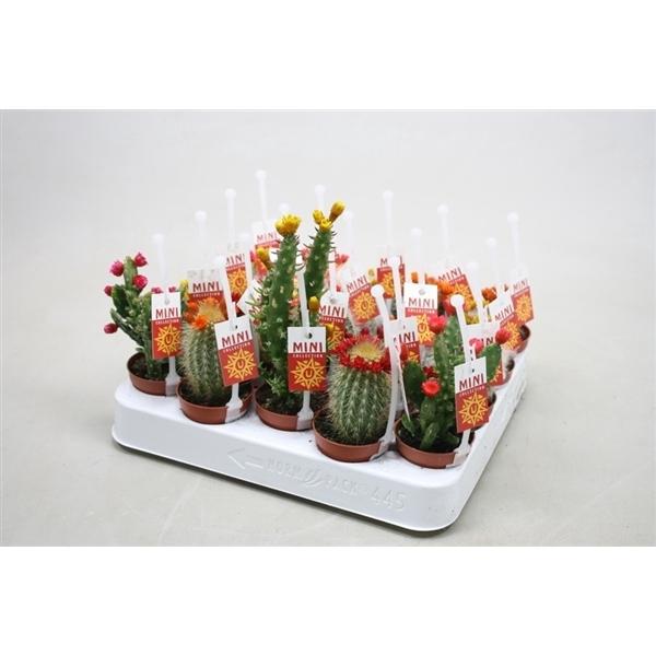 <h4>Cactus versierd Met kleine strobloemen + picker eti</h4>