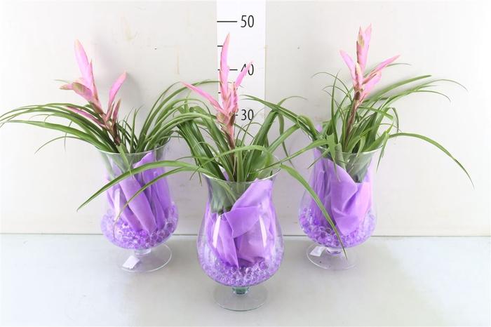 <h4>Bromelia Arrangement</h4>