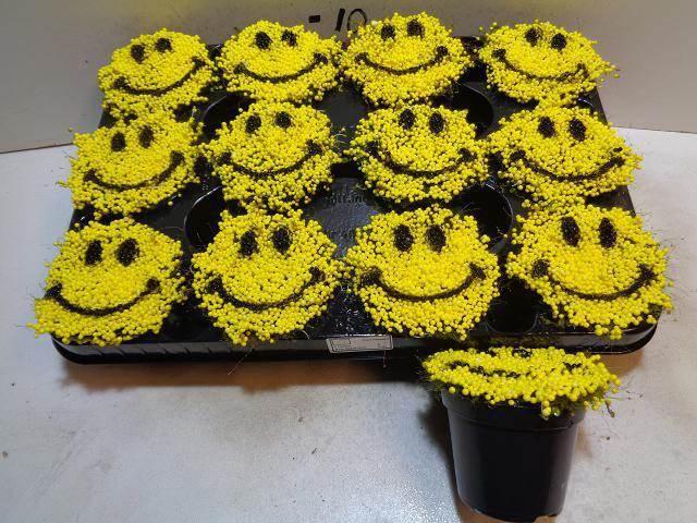 <h4>Nertera Gr Smile</h4>