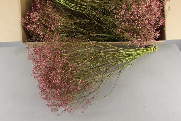 <h4>Df Gyps Bs (5) 75cm L.pink</h4>