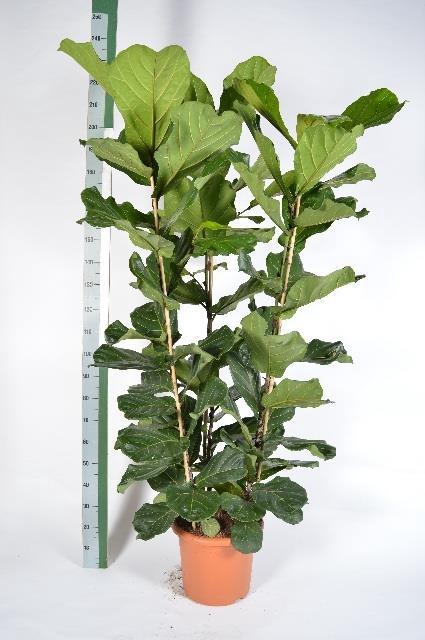 <h4>Ficus Lyrata 40Ø 190cm</h4>