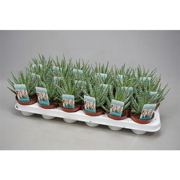 <h4>Aloe humilis Alo? humilis bloeiend</h4>