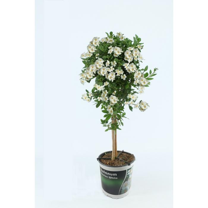 <h4>Solanum Charles White op stam</h4>