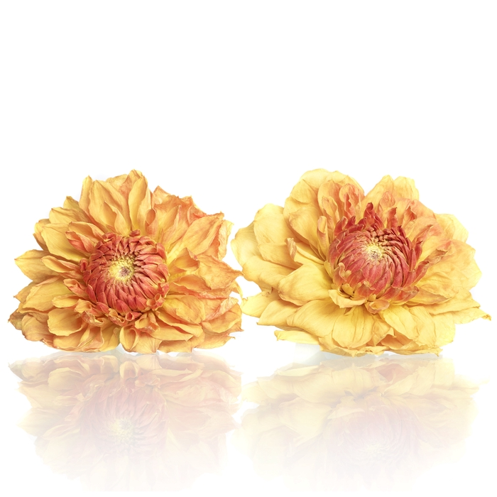 <h4>Dahlia orange 5,5-6cm</h4>