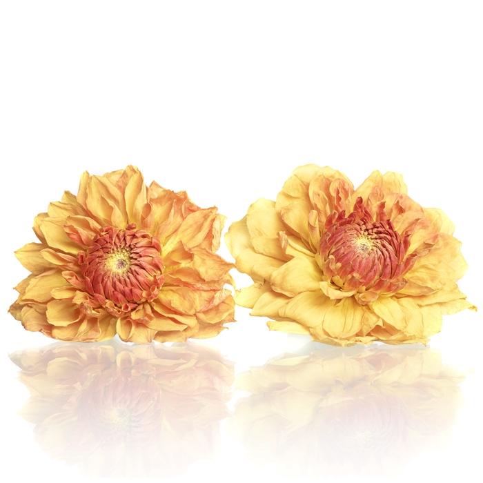 <h4>Dahlia orange 5-5,5cm</h4>