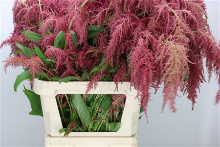 <h4>Amaranthus Hg Red Spider</h4>