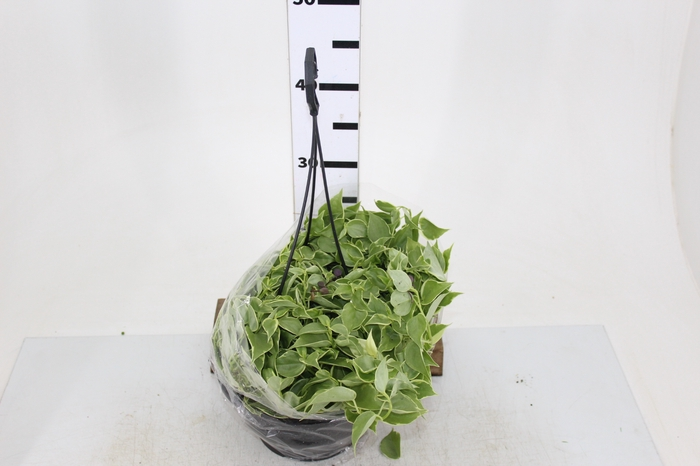 <h4>PEPEROMIA SCANDENS C21</h4>