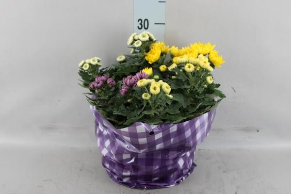 <h4>Chrysanthemum    ..mix 3</h4>