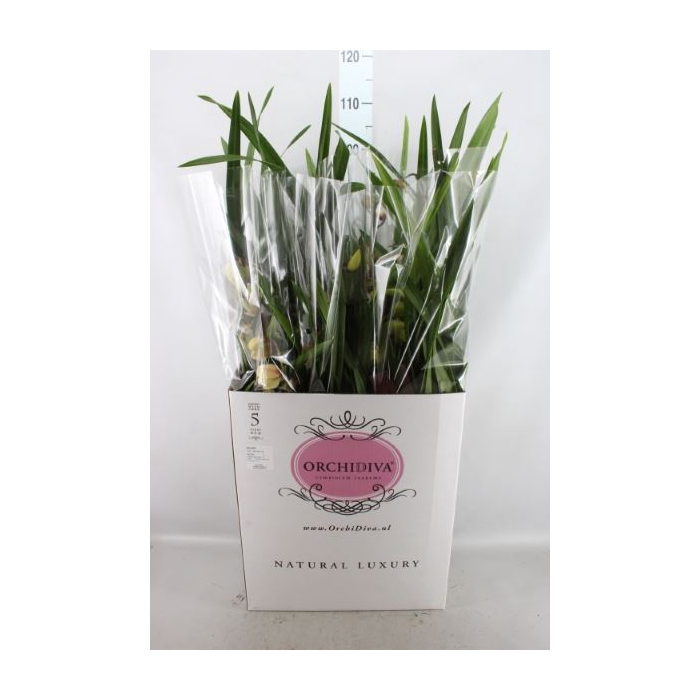 <h4>Cymbidium   ...mix</h4>