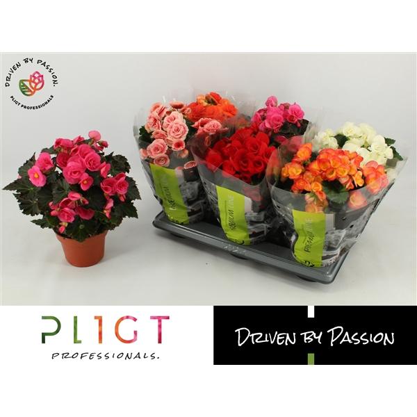 <h4>Begonia premium mix p14</h4>