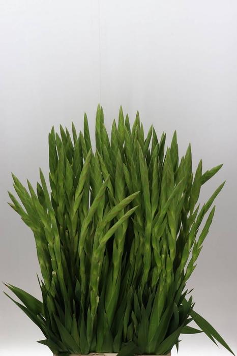 <h4>Gladiolus groot Serena</h4>
