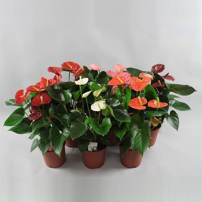 <h4>Anthurium andr.   ...mix 6</h4>