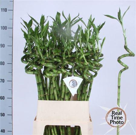 <h4>Drac S Lucky Bamboo 90cm</h4>