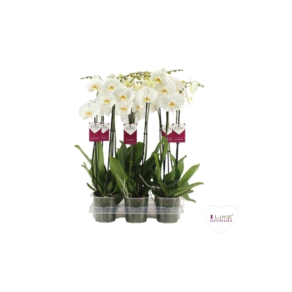 <h4>Phalaenopsis Cambridge</h4>
