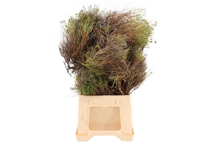 <h4>Euphorbia Spinosa</h4>