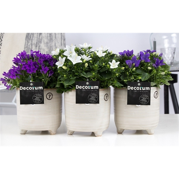 <h4>Campanula Mix Decorum Lauren</h4>