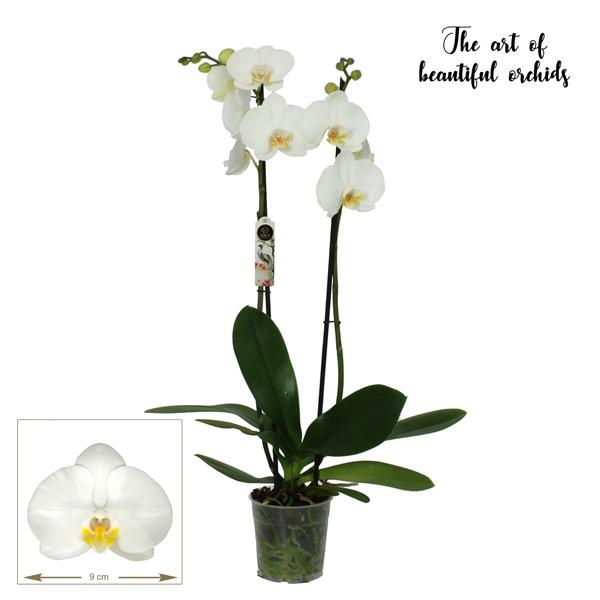 <h4>Phalaenopsis Nottingham</h4>