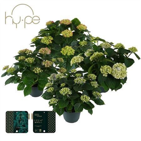 <h4>Hydrangea Curly Wurly Mix 10+</h4>