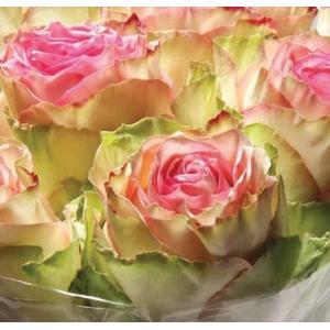 Rosa Pink Esperanza