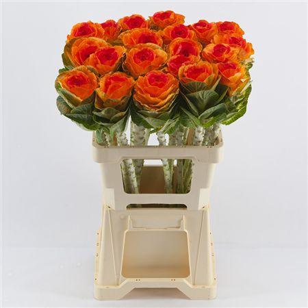 <h4>Brassica Orange-red</h4>