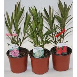 <h4>Adelfa, Nerium oleander mix</h4>