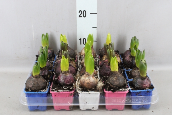 <h4>Hyacinthus orie.   ...mix 3</h4>
