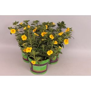 Calibrachoa Callie Deep Yellow