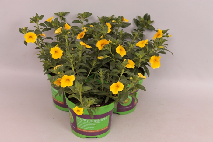 <h4>Calibrachoa Callie Deep Yellow</h4>