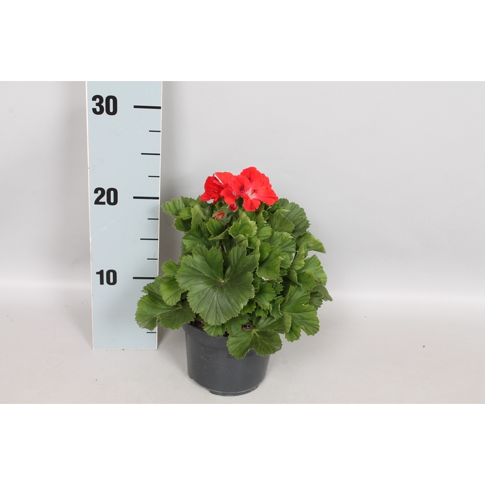 <h4>Pelargonium Grandiflorum Rosanne</h4>
