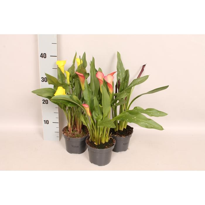 <h4>Overig planten 12 cm Zantedeschia Diverse</h4>