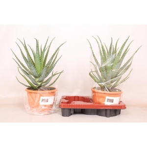 Aloe Arborescens 20Ø 45cm
