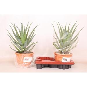 Aloe Arborescens 20Ø 60cm