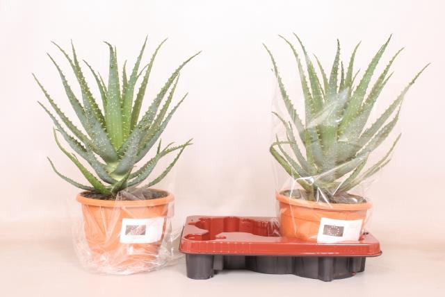 <h4>Aloe Arborescens 20Ø 45cm</h4>