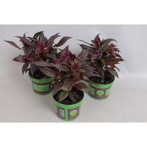 Celosia  Purple