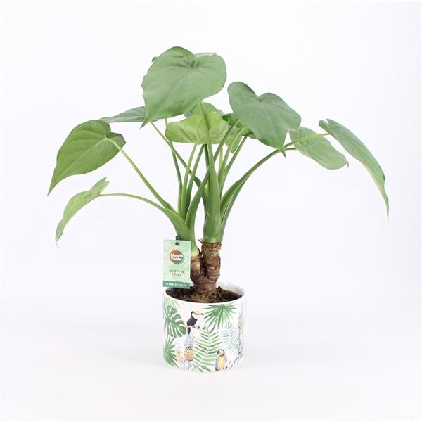 <h4>Alocasia Cucullata op stam in Jungle keramiek</h4>