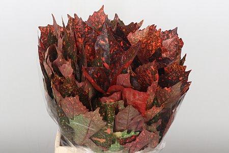 <h4>Dec Aucuba Red</h4>