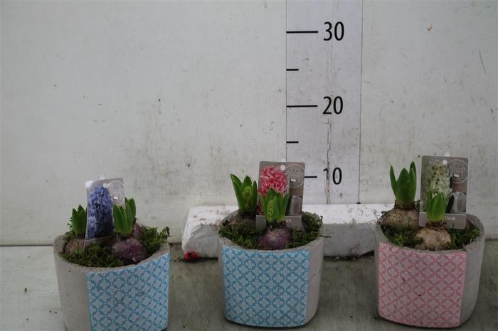 <h4>Hyacinth Mix 0954 Geluk 3pp Mos</h4>