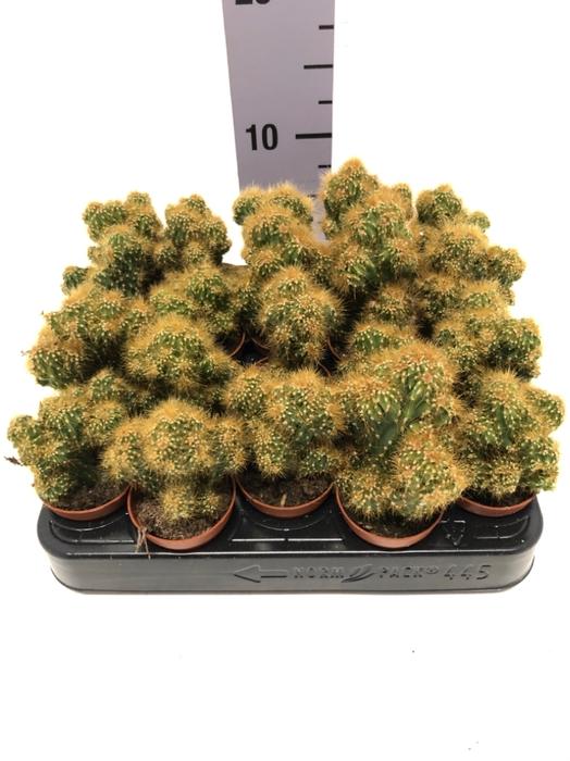 <h4>Opuntia Moncantha  (Schijfcactus) 5,5Ø 8cm</h4>