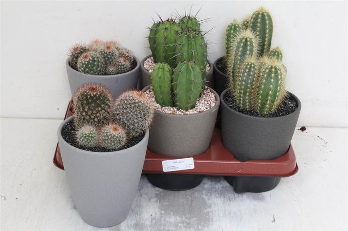 <h4>Cactus Gemengd Ronde Pot Grijs</h4>