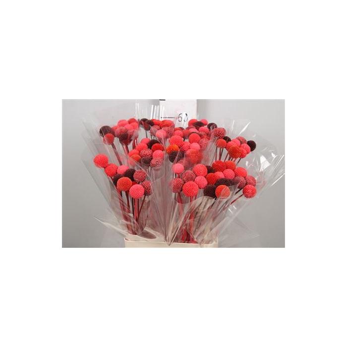 <h4>DRIED FLOWERS - CRASPEDIA ROOD MIX 10PCS</h4>